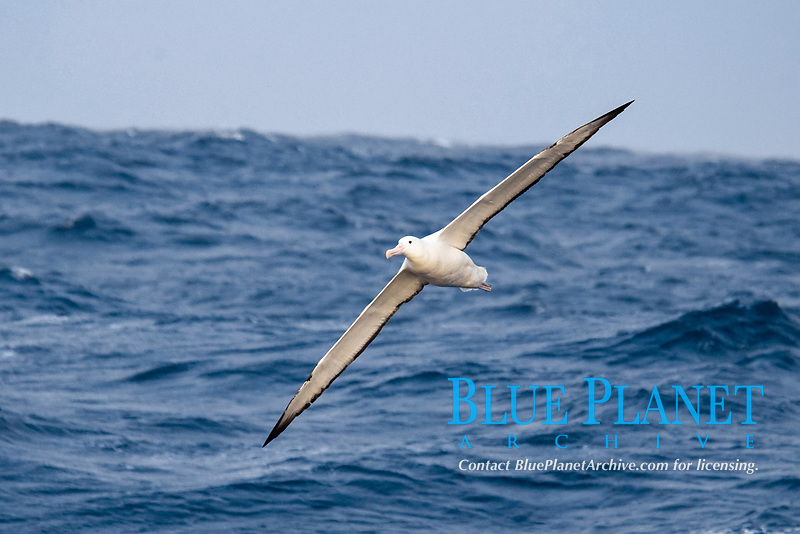 southern royal albatross, Diomedea epomophora, flying over large waves, Drake Passage, Southern Ocean