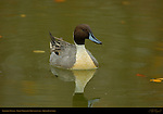 Northern Pintail Male, Drake, Reifel Migratory Bird Sanctuary, British Columbia, Canada
