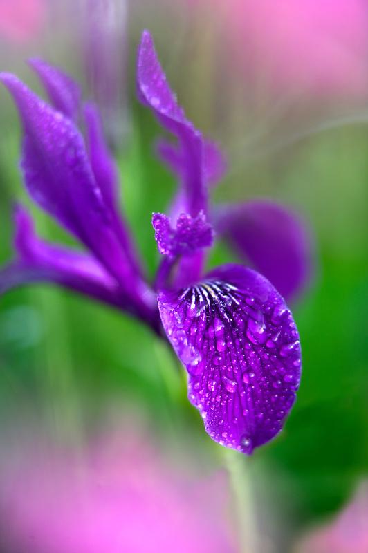 Wild Iris (Iris tenax) with pink wildflowers after rain. Near Alpine, Oregon