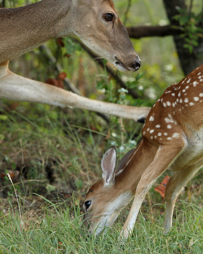 Whitetail doe picking on a small fawn (not its own).