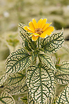 HELIOPSIS 'VARIEGATE', OXEYE DAISY