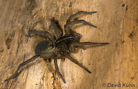1006-0904  Wolf Spider, Hogna spp. [formerly Lycosa spp.]  © David Kuhn/Dwight Kuhn Photography