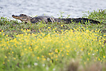Damon, Texas; an adult American alligator warming itself on the bank of the slough amongst a patch of yellow wildflowers