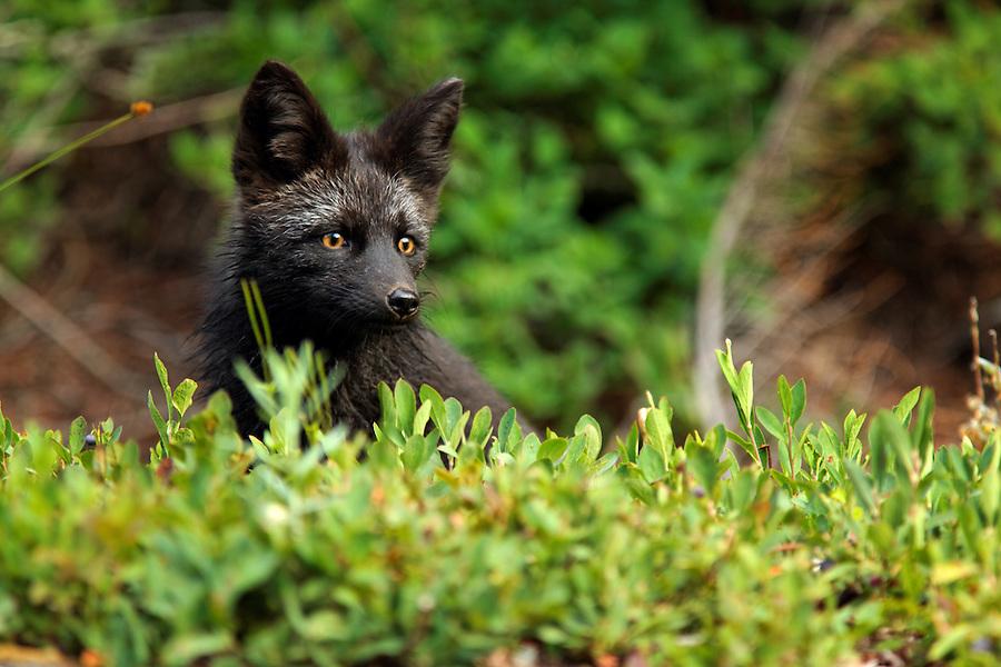 Black fox (dark phase of red fox, Vulpes Vulpes) standing in huckleberry, Paradise Valley, Mount Rainier National Park, Washington, USA