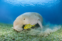 dugong, sea cow, Dugong dugon, feeding with golden trevally, Gnathanodon speciosus, Abu Dabab, Egypt, Red Sea, Indian Ocean