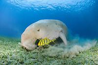 dugong, sea cow, Dugong dugon, feeding with golden trevally, Gnathanodon speciosus, Abu Dabab, Egypt, Red Sea, Indian Ocean