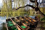 United Kingdom, England, Cambridgeshire, Cambridge:  Punts moored on bank of River Cam