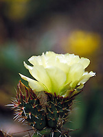 Prickly pear cactus bloom, wildflower, blossom. Colorado USA Moraine Park, Rocky Mountain National Park.
