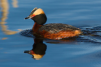 Horned Grebe swimming in a  Murray Wetlands Ducks Unlimited pond