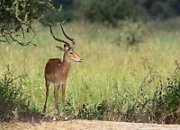 Common Impala, Aepyceros melampus melampus, in Tarangire National Park, Tanzania