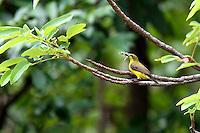 Female Olive-backed Sunbird in Iron Range National Park, Queensland