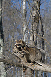 Two raccoons (Procyon lotor) sitting on a tree limb