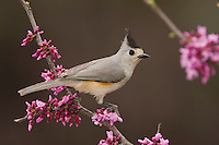 Black-crested Titmouse, Baeolophus atricristatus, adult perched on branch of blooming Eastern redbud (Cercis canadensis), New Braunfels, Texas, USA
