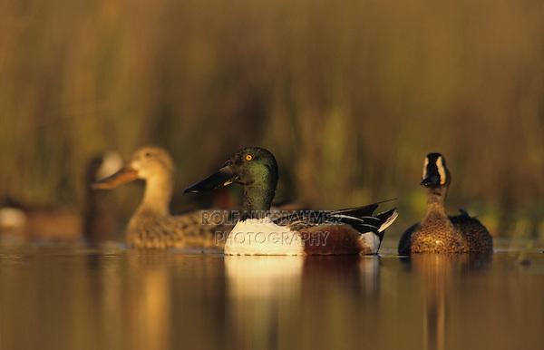 Northern Shoveler, Anas clypeata, male female and Blue-winged Teal, Lake Corpus Christi, Texas, USA