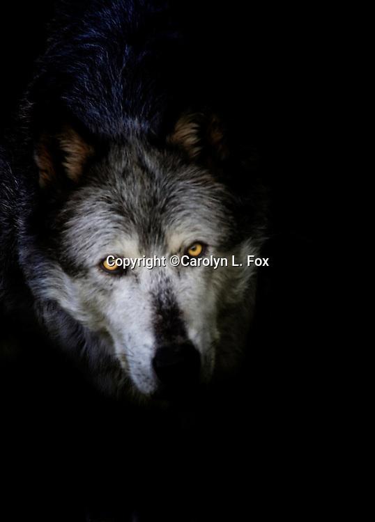 A wolf walks towards onlookers.