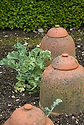 Sea kale (Crambe maritima) with traditional terracotta forcing pots, mid June.