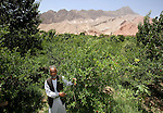 8 June 2013, Mula Sultan village, Kholm District , Mazar-i-Sharif, Balkh Province, Afghanistan. Local farmer Ahmad Shah on his orchard at  Mula Sultan village, Kholm District , where he is growing pomegranates, almonds and figs. Mr.Shah is bagging his pomegranate fruit to prevent pests destroying his crop. Mr. Shah  is benefitting from the new National Horticulture and Livestock Project (NHLP). The trees are part of a re-generation program that allows him to access Farmers Field School that teaches better growing techniques, fertilising methods and marketing of his fruit. His production output has grown from a paltry 20% to something near 80% as a result of the NHLP. The NHLP is providing training and equipment to farmers to assist in increasing production and to improve management of lands and animals. Picture by Graham Crouch/World Bank