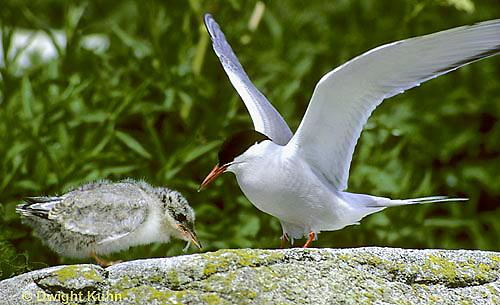 MC73-012z  Arctic Tern - parent feeding young chick - Machias Seal Island, Bay of Fundy - Sterna paradisaea