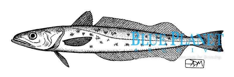 European hake, Merluccius merluccius, lateral view, pen and ink illustration.