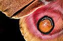 Suraka Silk Moth {Antherina suraka} wing detail showing scales. Maroantsetra, Northeast Madagascar.