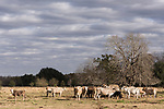 Brazoria County, Damon, Texas; several cows feeding on hay in the pasture in early morning sunlight