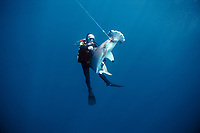 Diver watches hooked Scalloped Hammerhead Shark, Sphyma lewini, trying to swim free. Cocos Island, Costa Rica - Pacific Ocean