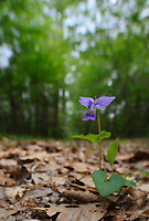 Carolina Violet, Big Thicket National Preserve, Texas, USA
