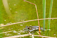 American Bullfrog, Rana catesbeiana, in a pond at the Desert Botanical Garden, Phoenix, Arizona