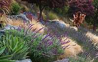 Salvia leucantha, Mexican Bush Sage flowering in California hillside garden among serpentine rocks with grasses, lavender, succulents and sculpture;