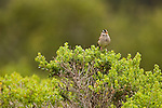 White-crowned Sparrow (Zonotrichia leucophrys) calling, Lobos Dunes, Presidio, San Francisco, Bay Area, California