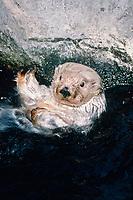 California Southern sea otter, Enhydra lutris nereis, endangered species, Monterey Bay Aquarium, California c