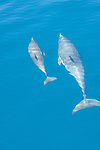 San Clemente Island, Channel Islands, California; a mother and baby Common Dolphin (Delphinus delphis) swim just under the water's surface