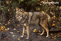 MA27-013z  Eastern Coyote - Canis latrans