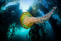 A Sea nettle jellyfish, Chrysaora fuscescens, swims along the edge of a thick kelp forest off of California. It hunts tiny plankton by trailing long tentacles covered with stinging cells. Monterey Bay, California, USA, East Pacific Ocean