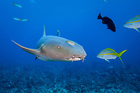 nurse shark, Ginglymostoma cirratum, with juvenile bar jack, Carangoides ruber, acting as pilot fish, Cypress Tunnels, Ambergris Caye, Belize, Central America (Caribbean Sea)