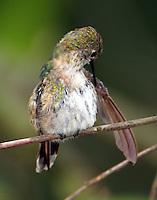 Adult female calliope hummingbird preening