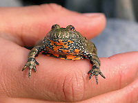 Kind mit Rotbauchunke in der Hand, Rotbauch-Unke, Unke, Tieflandunke, Tiefland-Unke, Bombina bombina, fire-bellied toad