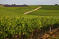 Europe/France/Rhône-Alpes/26/Drôme/Env de Vinsobres: le vignoble AOC Côtes du Rhône et champ de lavande en fond