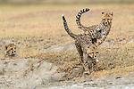 Cheetah cubs (Acinonyx jubatus) playing (around 5 months old). Ndutu area, Serengeti / Ngorongoro Conservation Area (NCA), Tanzania.
