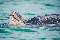 leatherback sea turtle, Dermochelys coriacea, female, breathing, Grand Riviere, Trinidad, Trinidad and Tobago, Caribbean Sea, Atlantic Ocean