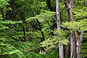 Deciduous woodland, Ulva, Isle of Mull, Scotland. June.