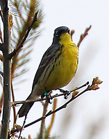 Adult male Kirtland's warbler. This bird is banded like the bird in the preceding pictures, evidently in the Bahamas also.