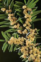 Europäische Eibe, Gewöhnliche Eibe, Beeren-Eibe, Blüten, Taxus baccata, Common Yew, English Yew