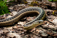 Common Garter Snake (Thamnophis sirtalis) in Southern Minnesota. Photo by James R. Evans