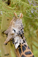 Giraffe (Giraffa camelopardalis), adult, feeding on acacia leaves, portrait, Nakuru, Kenya, Africa