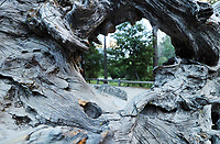 Free nature stock photo of a wild trail as seen through a hole in bark of a fallen big tree in America's Yosemite national park.