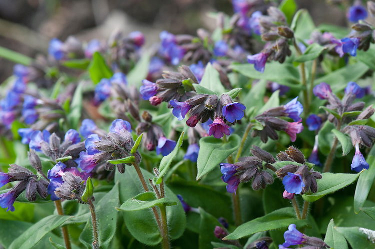 Blue cowslip (Pulmonaria angustifolia 'Mawsons Variety'), mid March.