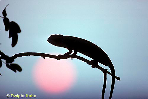 CH14-002b  African Chameleon - resting on branch, sun - Chameleo senegalensis