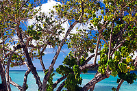 Mangrove tree in front of the turquoise sea in French La Martinique Island, Caribbean Windward Islands