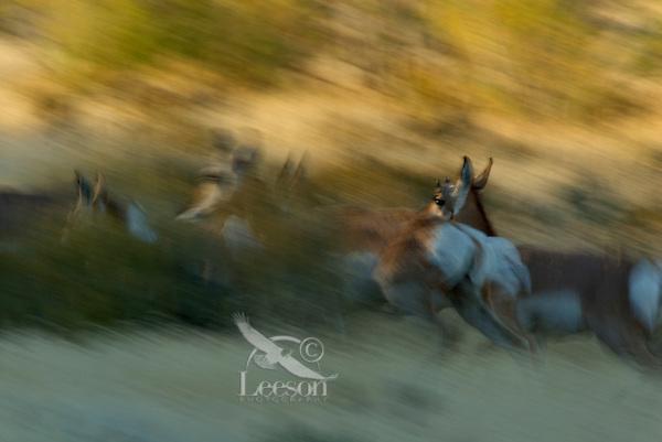 Pronghorn (Antilocapra americana) running--fastest large land mammal in North America.  Fall.